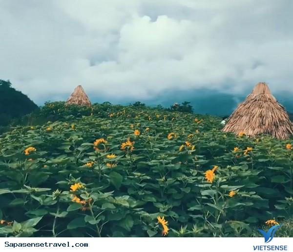 Đồi hoa hướng dương ở Sapa - Ảnh 3