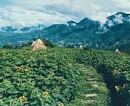 Đồi hoa hướng dương ở Sapa